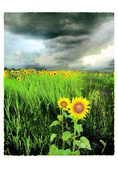 Us together, 11x17, Original, Signed Art Photograph, Sunflowers, art, nature decor, wedding gift, green decor. $99.00, via Etsy.