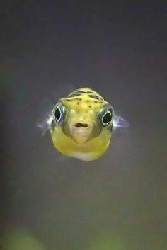 Dwarf Puffer Fish, Little Fish, Freshwater Fish, Cute Pictures, Turtle, Mini, Fish Fish, Ponds