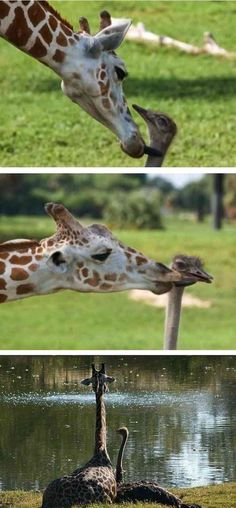 A giraffe and ostrich form an odd friendship at Busch Garden's in Florida. - http://www.icantbelieveit.org/2013/06/strange-animal-friendships.html?utm_source=feedburner_medium=email_campaign=Feed%3A+icbiblog+%28I+Can%27t+Believe+It%29_content=Yahoo%21+Mail