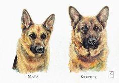 Watercolour portrait German Shepherds