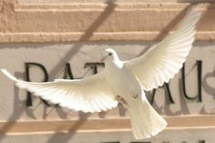 Hochzeitstaube im Flug Animals, Newlyweds, Animales, Animaux, Animal, Animais