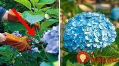 Urobte v júli toto s vašimi hortenziami a o rok sa budete pýšiť najbohatšími kvetmi v okolí Love Garden, Home And Garden, Plantar, Gardening Tips, Iphone Wallpaper, Diy And Crafts, Flora, Chata, Hydrangeas