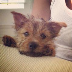 Norwich Terrier puppy @teddythenorwich on Instagram