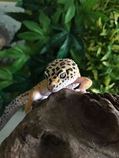 Leopard gecko in his little jungle - My list of the most beautiful animals Leopard Gecko Cute, Cute Gecko, Cute Lizard, Cute Snake, Cute Reptiles, Reptiles And Amphibians, Most Beautiful Animals, Beautiful Snakes, Unique Animals
