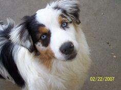 Australian Shepherd Husky Mix - Dog Training Home   Dog Types