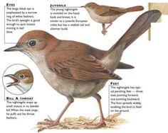 Nightingale ( Birds)