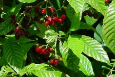 Psychotria nervosa - Wild Coffee, just planted in the back yard