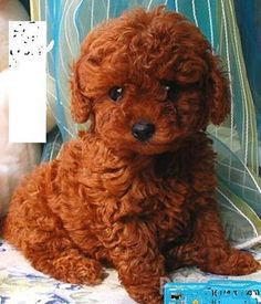 mini poodle brown - Google Search