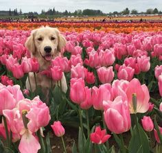 pink tulips, flowers, dog, cute, gorgeous, colorful
