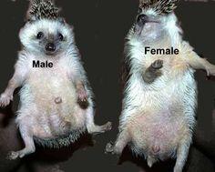 how to determine a hedgehog's sex