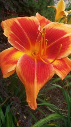 outrageous daylily