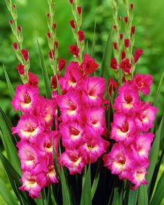 Flores e frases: GLADIOLA
