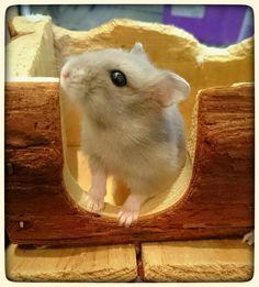 Male winter white dwarf hamster (h)
