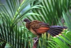Grijskopchachalaca, Grey-headed Chachalaca (Ortalis cinereiceps)