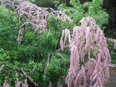 Тамариск и много других экзотических растений Крыма.