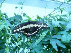 @BothersomeArya - Loved the exhibition, butterflies were amazing #SensationalButterflies