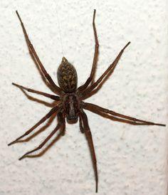 basic spider anatomy | Spiders | Pinterest | Spider, Wolf spider and ...