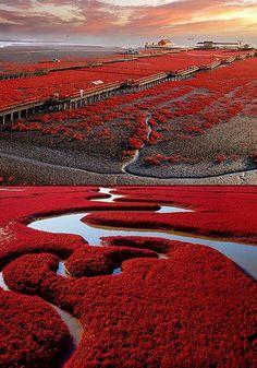 La playa roja de Panjin, en China. #china #beach #travel