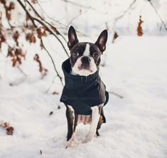 "1,130 Likes, 65 Comments - Trinity The Boston Terrier (@trinity.approved) on Instagram: ""Winter throwback to 2014. I was only 10 months old here and snow excitement is definitely there  .…"""