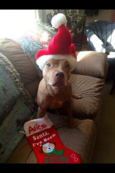 Pit Bulls Dressed In Holiday Clothes Make Us Believe In Santa Paws