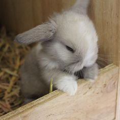 Mummy where are you? I'm patiently waiting for my yums 😍 Mini Lop Bunnies, Cute Baby Bunnies, Mini Lop Rabbit, Holland Lop Bunnies, Cute Little Animals, Cute Funny Animals, Fluffy Animals, Animals And Pets, Cute Puppies