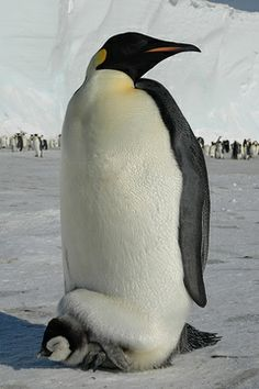 images of penguins | ... than a fuzzy baby penguin under a fat grownup penguin? We doubt it