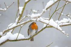 A great winter image of a robin in the snow.