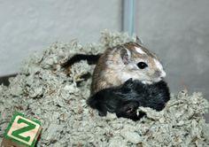 cute gerbils :)