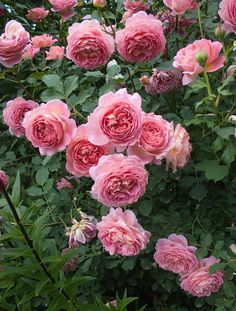 'Jubilee Celebration' | Shrub. English Rose Collection. Austin 1998 | @ Oliver