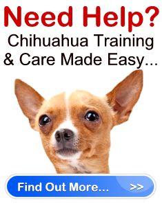 Chihuahua Training And Obedience Advice   Chihuahua Savvy