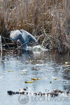 Photo Strip: Great Blue Heron Catching a Fish, via LookLagoon