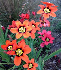 Sparaxis tricolor (harlequin flower) zones 9,12-24 Perennial from corm.  Full sun, good drainage, no summer water.     JandT26, via Flickr