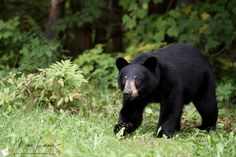 Cautious - Wild Black Bear Yearling (Male) in Ontario, Canada