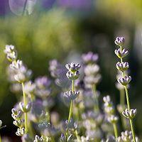 english lavender lavandula angustifolia lavanda. Black Bedroom Furniture Sets. Home Design Ideas