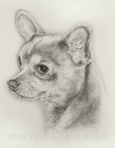 Chihuahua (Cosmo) 