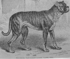 """Bullenbeisser (also known as the German Bulldog) was a breed of dog known for its strength and agility. The breed was closely related to the Bärenbeisser (some believe that the two breeds were the same; the names mean """"bull-biter"""" and """"bear-biter,"""" respectively), and the Boxer. It was in all its aspects similar to the present Alano Español and very alike to the Dogo Argentino, not only in aspect, but also in usage.  The Bullenbeisser became extinct by crossbreeding rather than by a decadence"""
