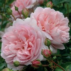 'Wildeve' from the David Austin Potted English Rose Collection