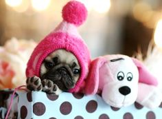 Everything about this is perfectly adorable!  - the tiny pug puppy, the hat, the stuffy, the paws sticking straight out!
