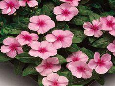 1,000 Vinca Seeds Sunsplash Light Pink Seeds BULK SEEDS #Vincaseeds