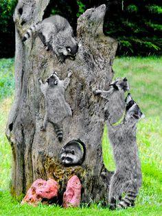 Raccoon playground!                                                                                                                                                                                 More