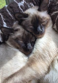 We are Siamese if you please. - Siamese Cat - Ideas of Siamese Cat - We are Siamese if you please. The post We are Siamese if you please. appeared first on Cat Gig. I Love Cats, Cute Cats, Funny Cats, Cat Hug, Dog Cat, Pretty Cats, Beautiful Cats, Kittens Cutest, Cats And Kittens