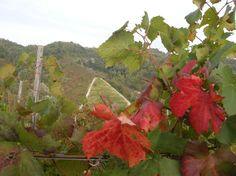 October in our Wineyards - Tacchino Raffaele