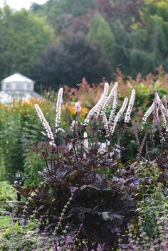 Dark purple foliage and spires of white