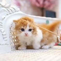 Cute little munchkin with curly fur – Cool Cat Tree House - Hunde und Katzen Cute Cats And Kittens, I Love Cats, Cool Cats, Kittens Cutest, Ragdoll Kittens, Tabby Cats, Bengal Cats, Kitty Cats, Cute Funny Animals