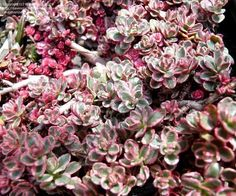 sedum | PlantFiles Pictures: Two-row Stonecrop 'Tricolor' (Sedum spurium) by ...