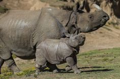 "Two horns up! 9-week old greater one-horned rhino calf, Parvesh, recently made his debut at the Safari Park with his mother Alta. His name means ""lord of celebration"" in Hindi, and he's already approaching 300 pounds. Help us welcome him."