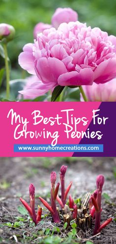 Best tips for planting and growing peonies in your backyard garden.  Grow beautiful peony flowers with these hints and tips.  #peony #peonies #peonytips #growingpeonies