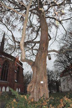 Bettinas blad. Kinesisk sekvoja, Metasequoia glyptostroboides.
