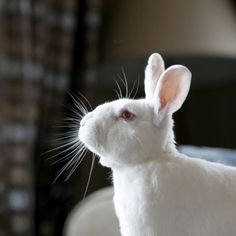The world's most exploited animal are playful and inquisitive, and we should celebrate them this Easter (and always). House Rabbit, Pet Rabbit, Prey Animals, Farm Animals, Book Photography, Animal Photography, Cosmetic Animal Testing, Bunny Rescue, Animal Agriculture