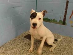 Check out A495760 Is In Danger In San Bernardino City the Dog available for adoption on AllPaws.com!